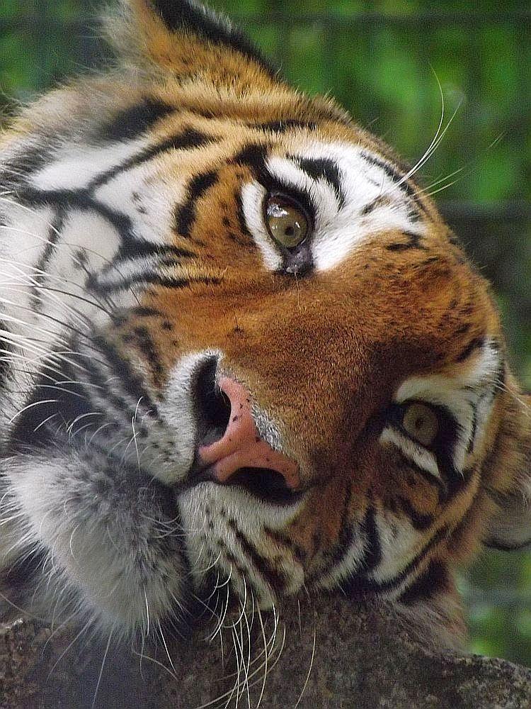 Sibirischer Tiger (Zoo Hoyerswerda)