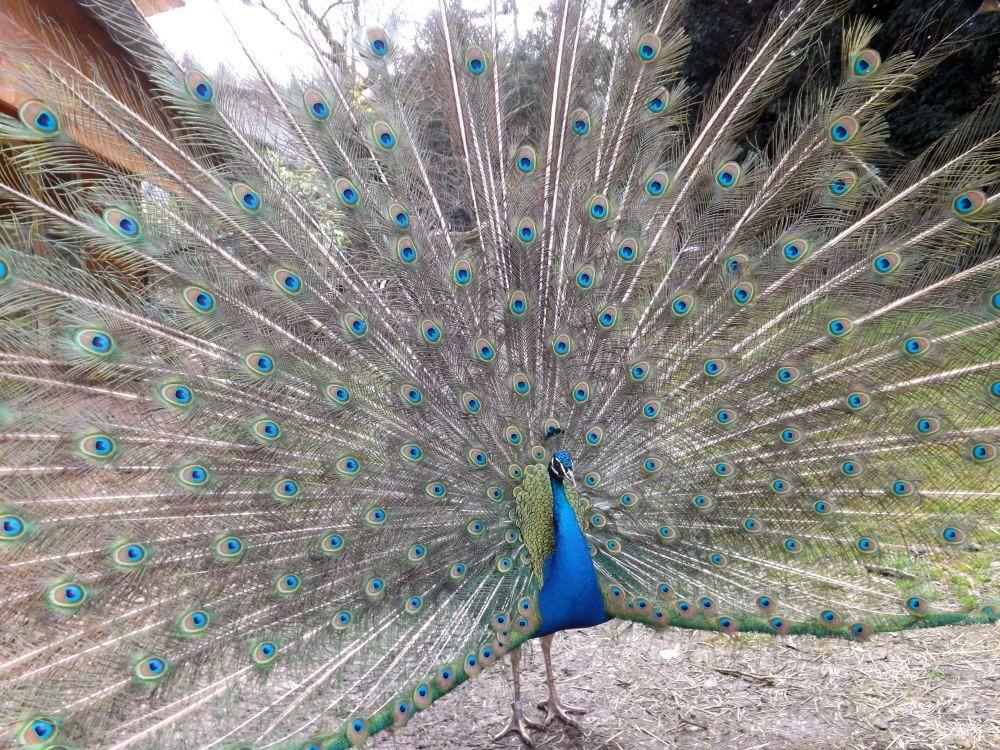Blauer Pfau (Zoo Mulhouse)