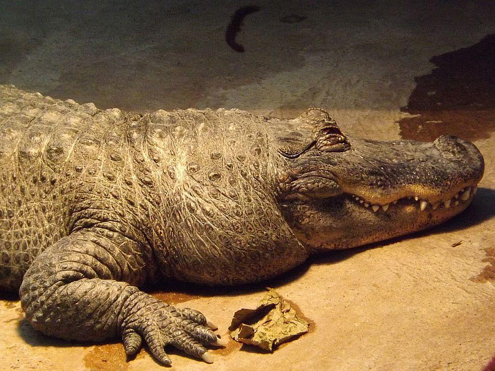Mississippi-Alligator (Tiergarten Ulm)