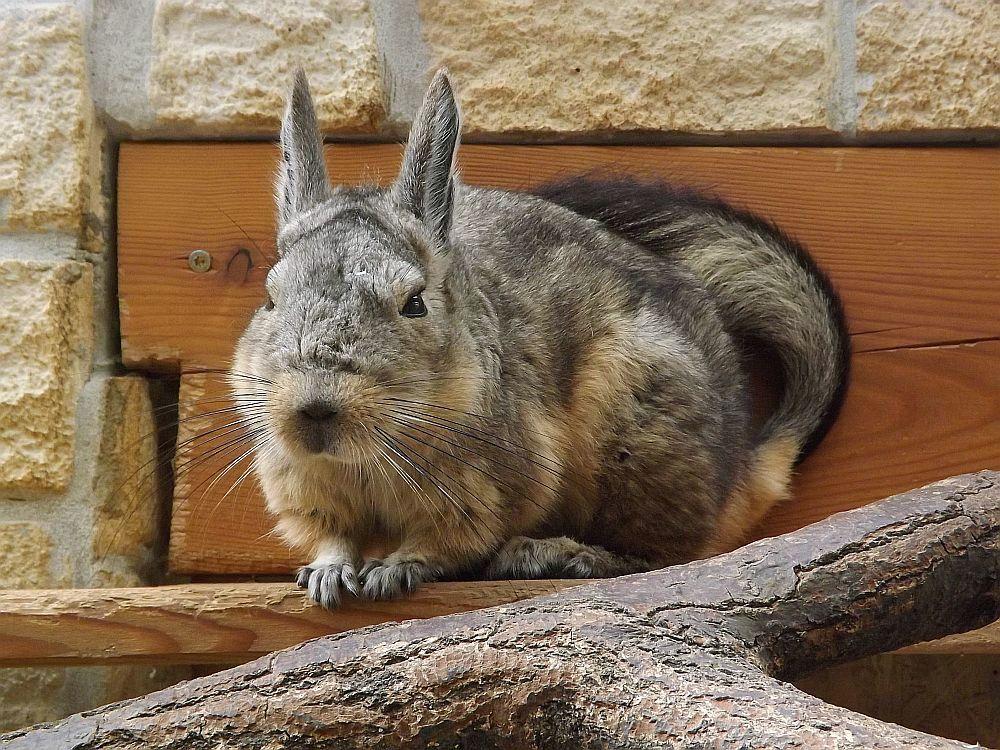 Peruanische Hasenmaus (Heimattiergarten Bierer Berg)