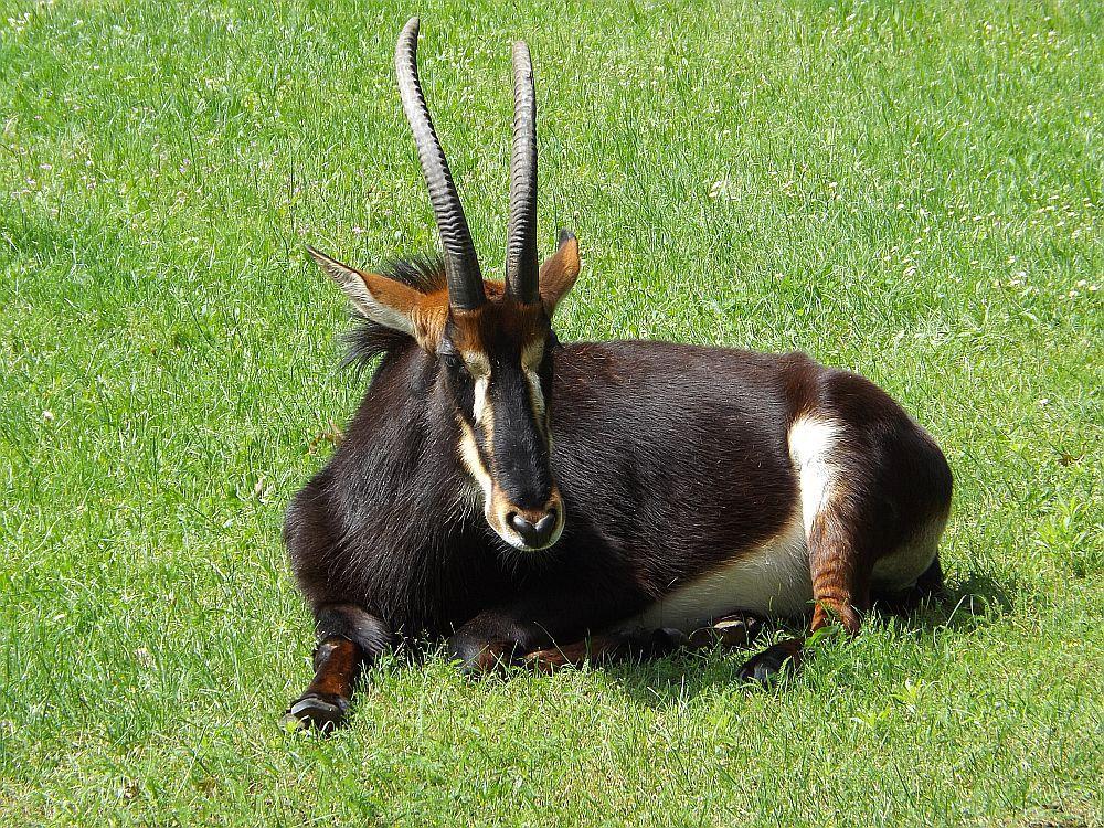 Rappenantilope (Zoo Hoyerswerda)