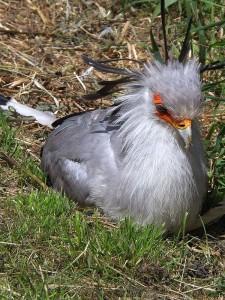 Sekretär (Vogelpark Timmendorfer Strand)