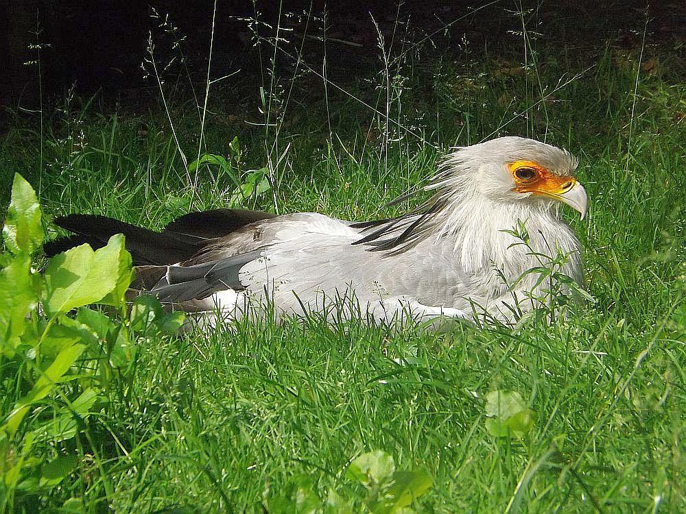 Sekretär (Weltvogelpark Walsrode)