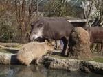 Flachlandtapir und Wasserschwein (Zoo Zürich)