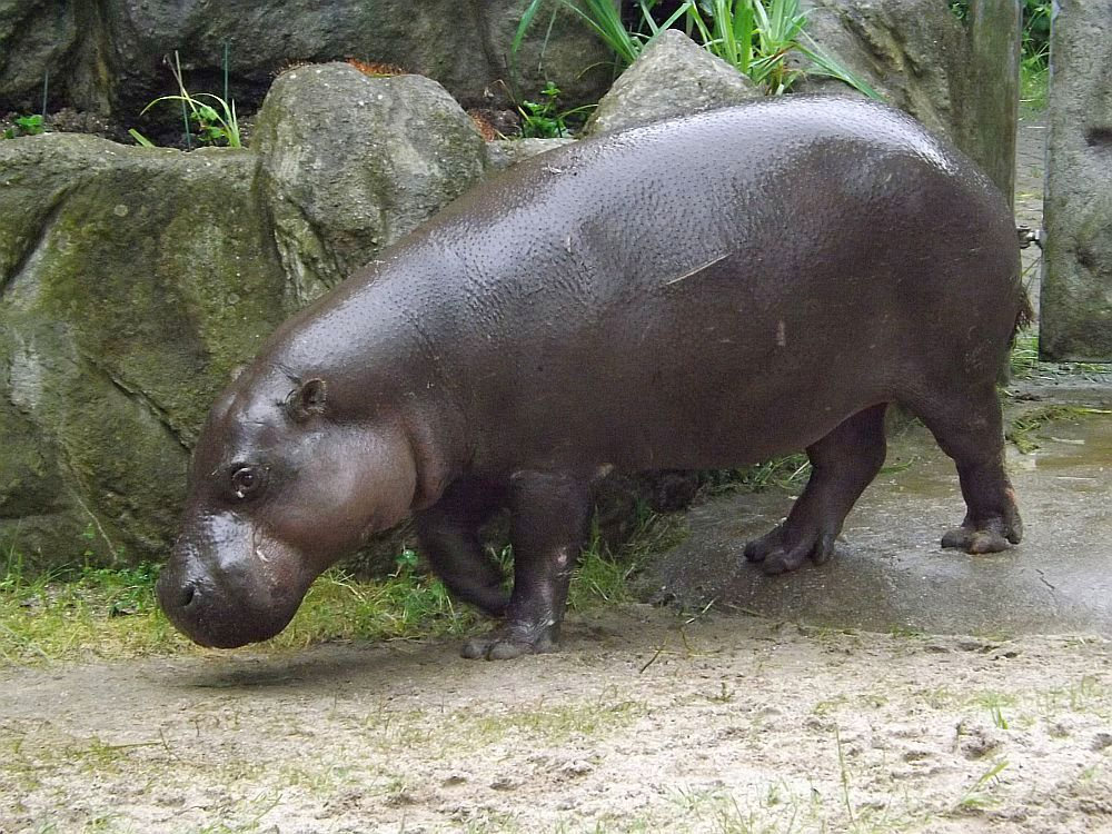Zwergflusspferd (Tierpark Chemnitz)