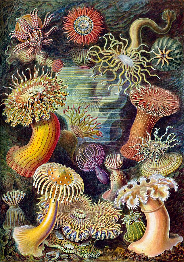 Seeanemonen: Bildtafel Nr. 49 aus Kunstformen der Natur, 1899