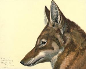 Äthiopischer Wolf (Louis Agassiz Fuertes)