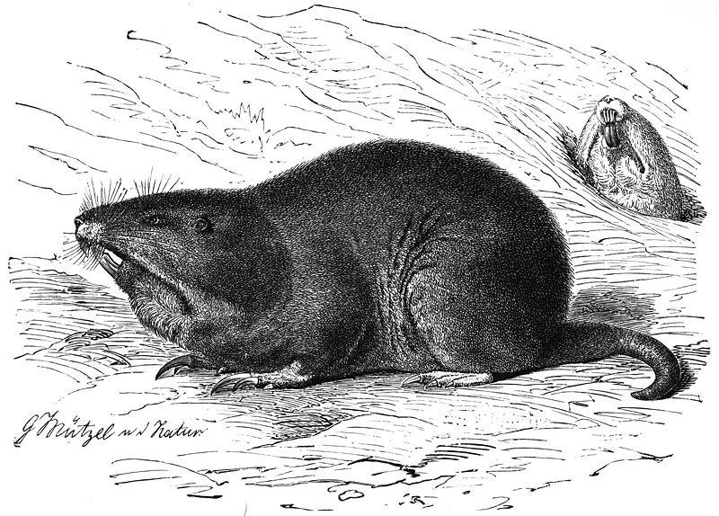 Flachland-Taschenratte (Brehms Tierleben)