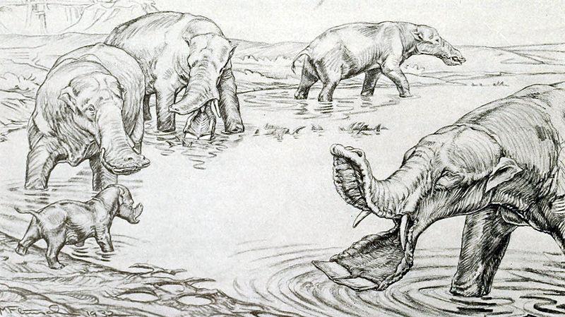 Platybelodon grangeri (Margret Flinsch)