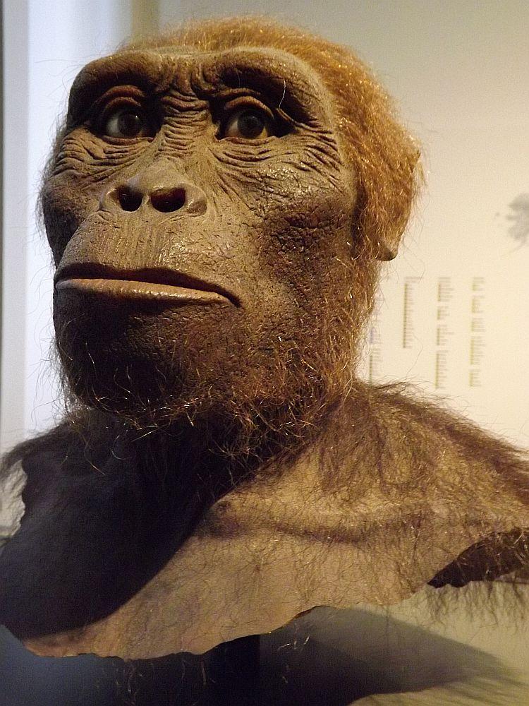 Australopithecus afarensis (Landesmuseum Hessen Darmstadt)