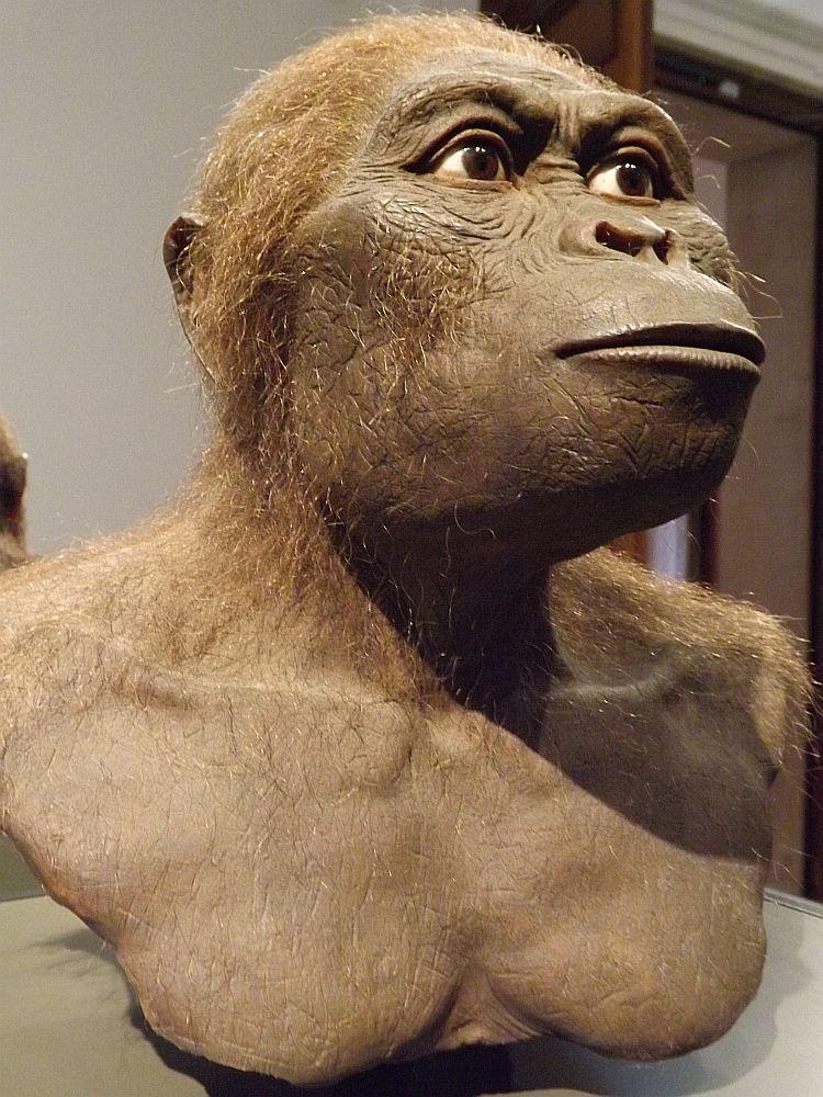 Australopithecus africanus (Landesmuseum Hessen Darmstadt)
