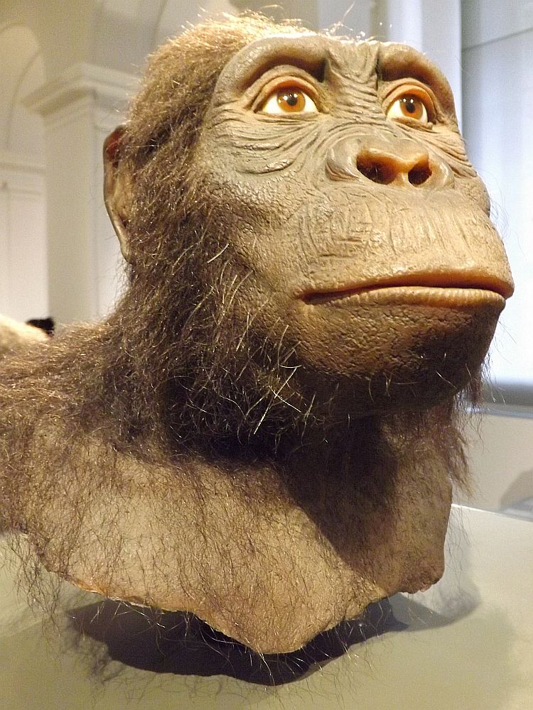 Australopithecus anamensis (Landesmuseum Hessen Darmstadt)