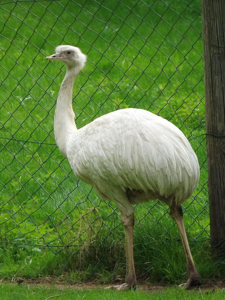 Nandu (Vogelpark Abensberg)