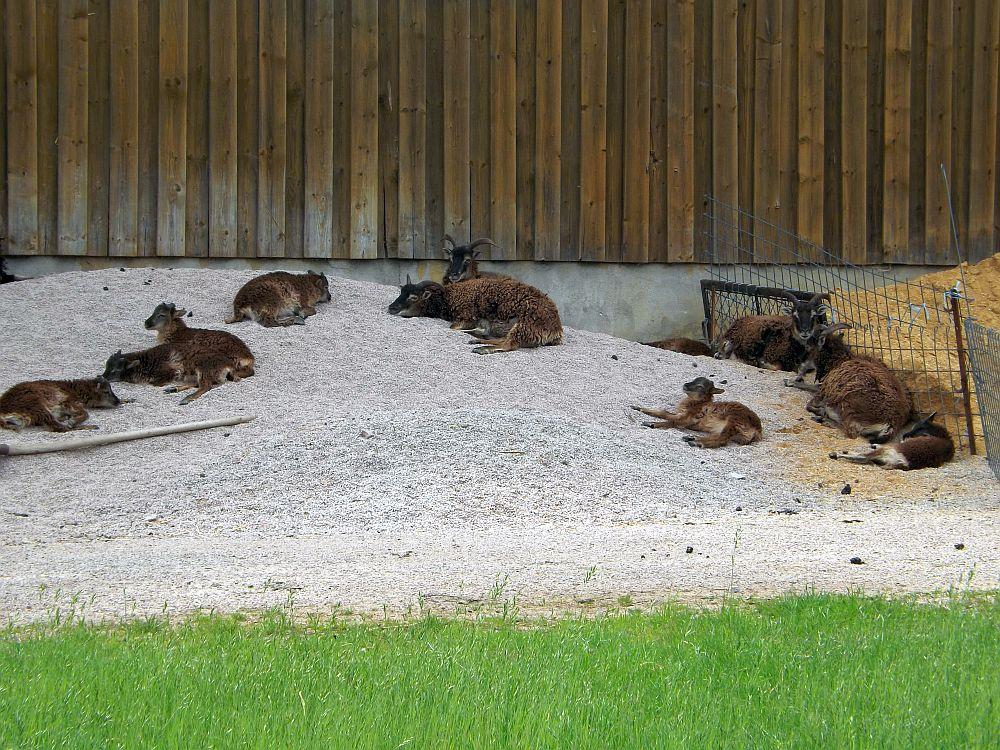 Soayschafe (Tierpark Hirschfeld)