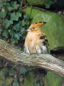 Wiedehopf (Weltvogelpark Walsrode)