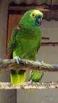 Blaustirnamazone (Vogelpark Irgenöd)