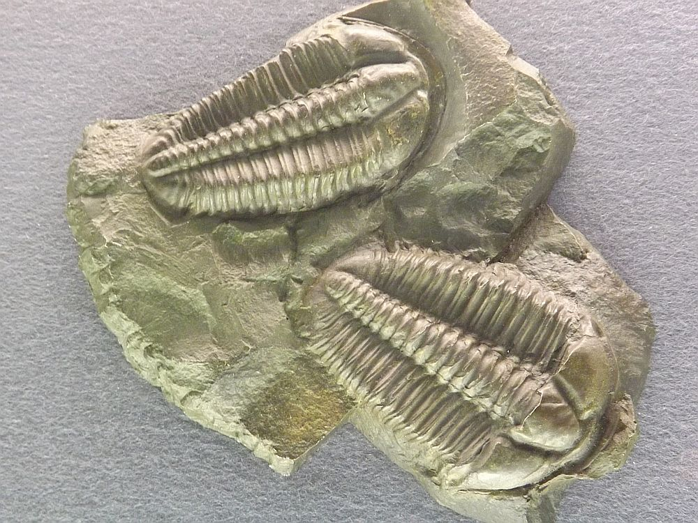 Conocoryphe sulzeri (Senckenberg Museum Frankfurt)