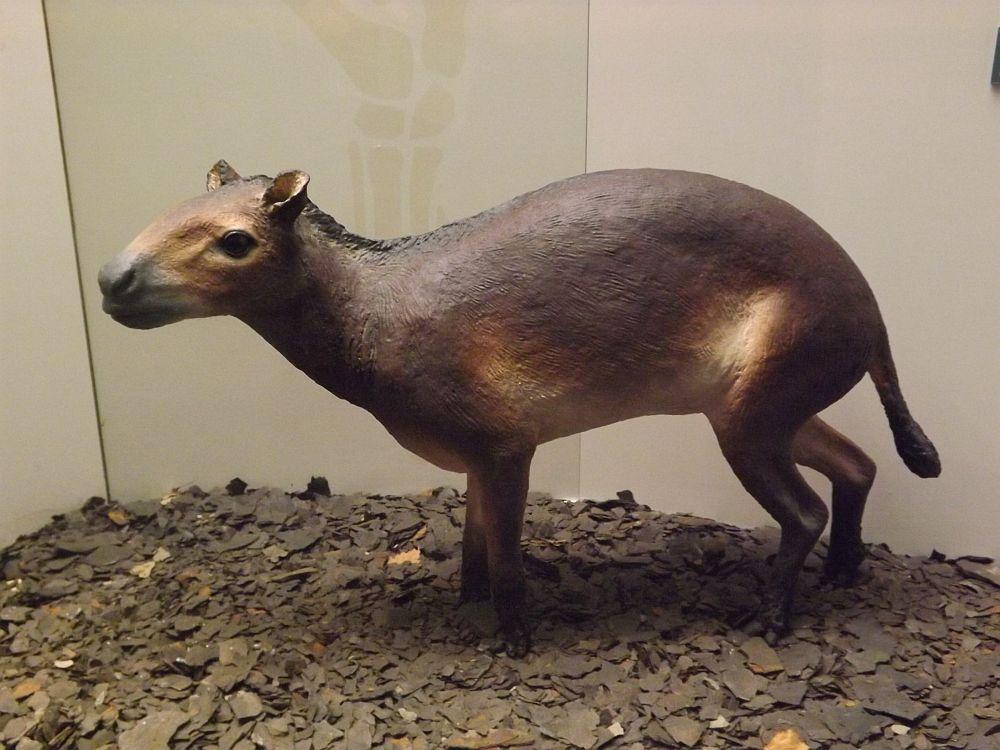 Eurohippus messelensis (Senckenberg Museum Frankfurt)