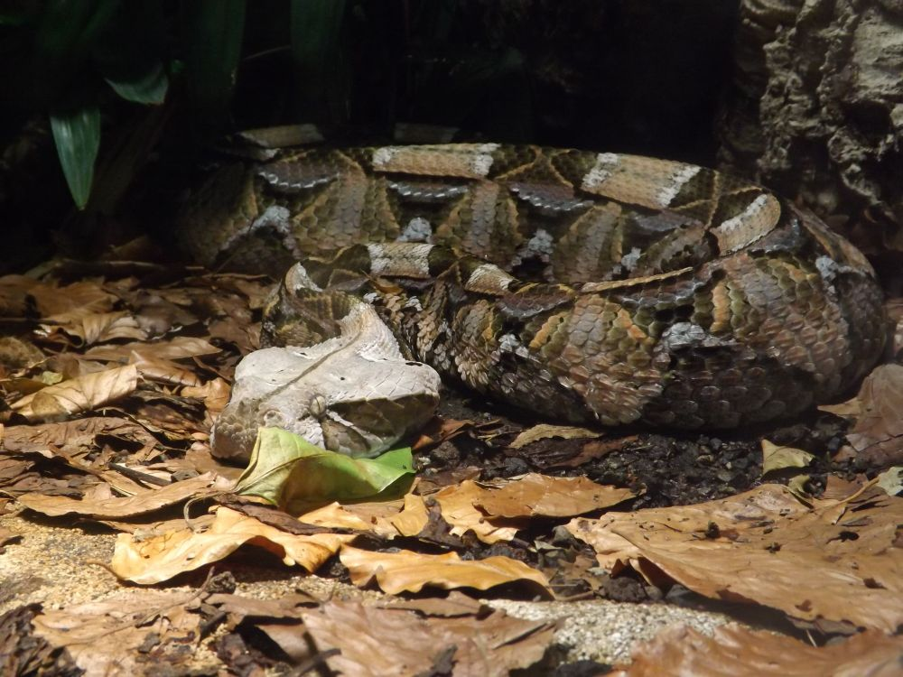 Gabunviper (Tierpark Hellabrunn)
