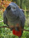 Graupapagei (Vogel- und Naturschutztierpark Herborn)