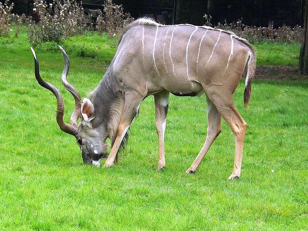 Großer Kudu (Zoo Krefeld)