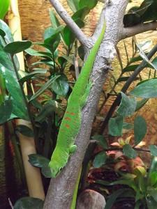 Großer Madagaskar-Taggecko (Biosphäre Potsdam)