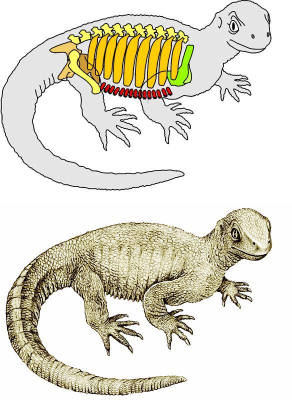 Pappochelys hatte bereits zahlreiche Merkmale von Schildkröten: Verbreiterte Rippen, verschmolzene B ... Copyright: SMNS, R. Schoch