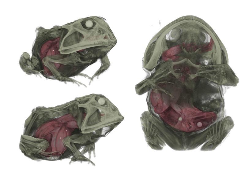 Frosch im Hals (Dr. Thomas Kleinteich, CAU)