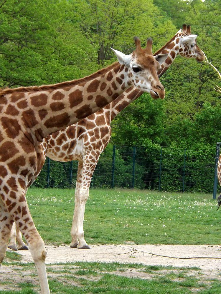Rothschildgiraffe (Tierpark Berlin)