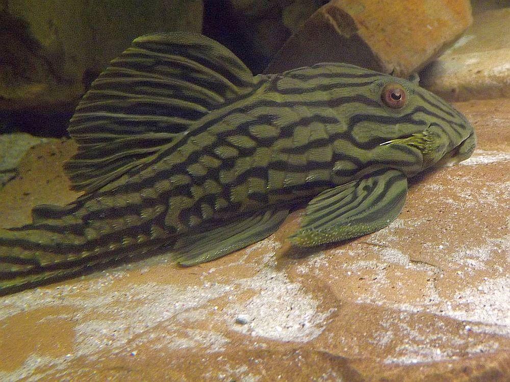Schwarzlinienharnischwels (Tiergarten Nymphaea)