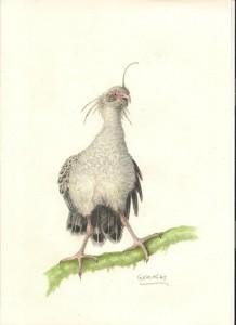 Chaunoides antiquus ( Geraldo Franca Jr)