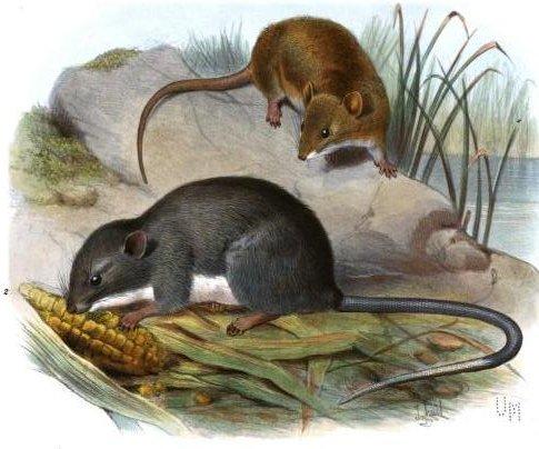 Oryzomys couesi (oben) and Tylomys panamensis (unten) (E.R. Alston)