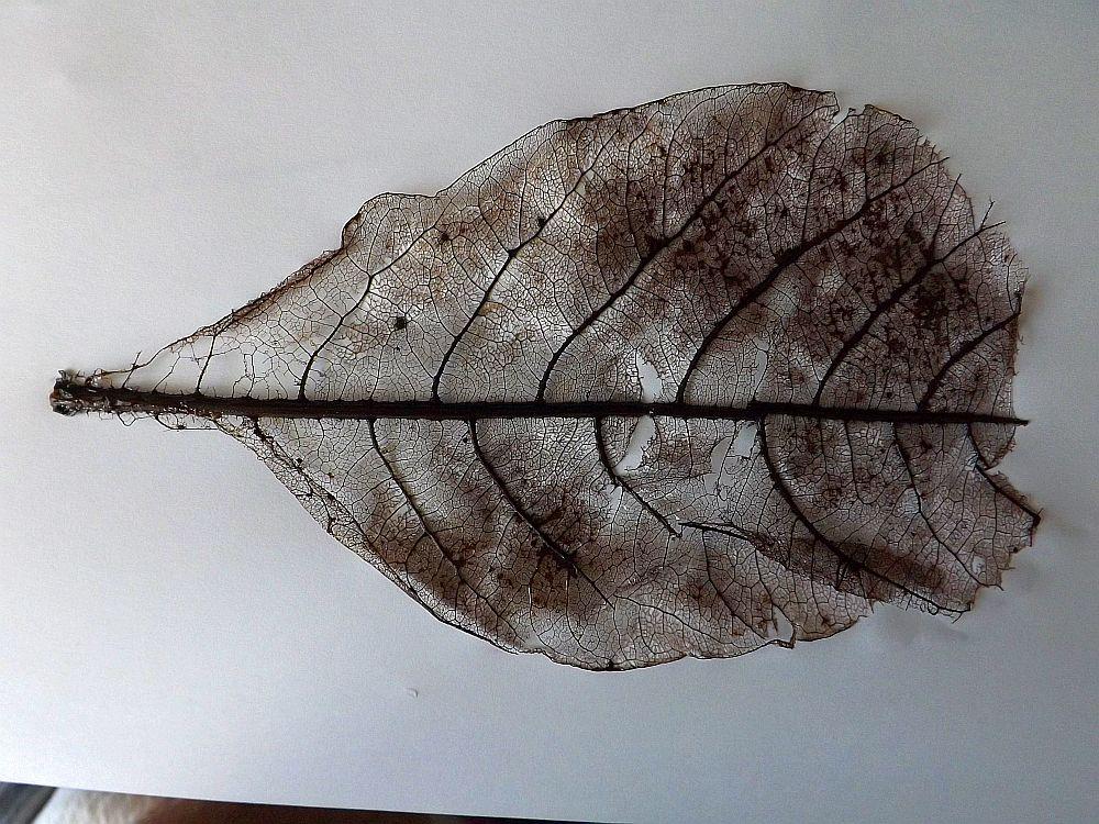 Blatt des Seemandelbaums, von Schnecken abgefressen