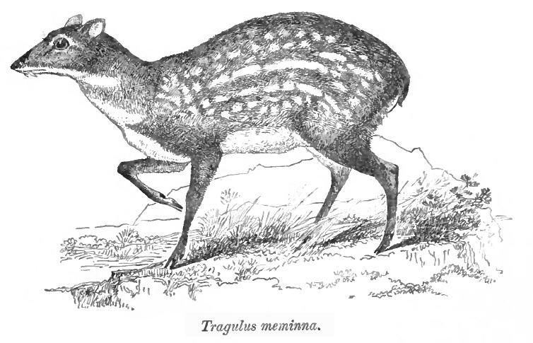 Ceylon-Kantschil (W. T. Blanford)