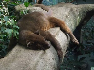 Fossa (Zoo Frankfurt)