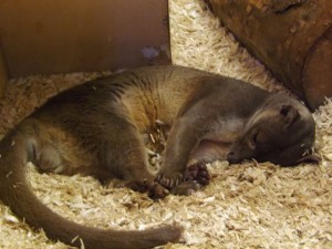 Fossa (Zoo Plzen)