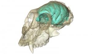 Dreidimensionales Computermodell des winzigen, aber komplexen Gehirns von Victoriapithecus, einem Altweltaffen, der vor 15 Millionen Jahren lebte. (MPI f. evolutionäre Anthropologie/ F. Spoor)