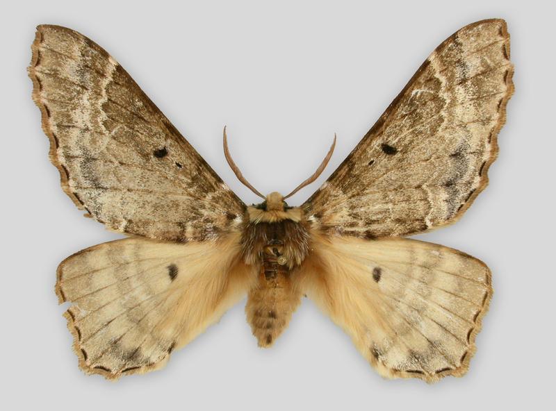 Eines der raren Museumsexemplare von Pseudobiston pinratanai befindet sich in der Schmetterlingssammlung des Staatlichen Museums für Naturkunde Stuttgart (Copyright: SMNS)