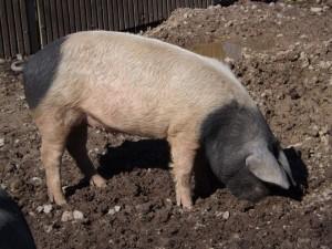 Schwäbisch-Hällisches Schwein (Wildpark Pforzheim)