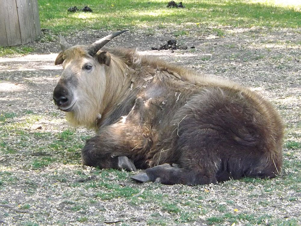 Sichuan-Takin (Tierpark Berlin)