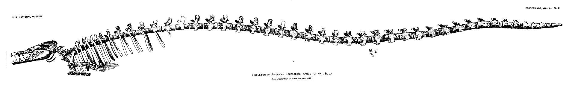Skelettrekonstruktion von Basilosaurus (James William Gidley, 1913)