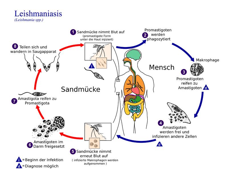 Die guten Medikamente vom Spulwurm die Würmer