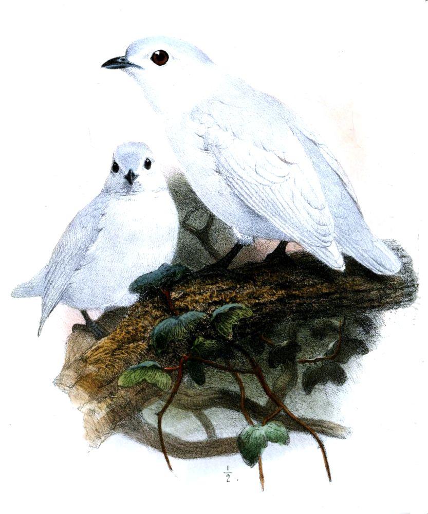 Schneeschmuckvogel (Joseph Wolf)