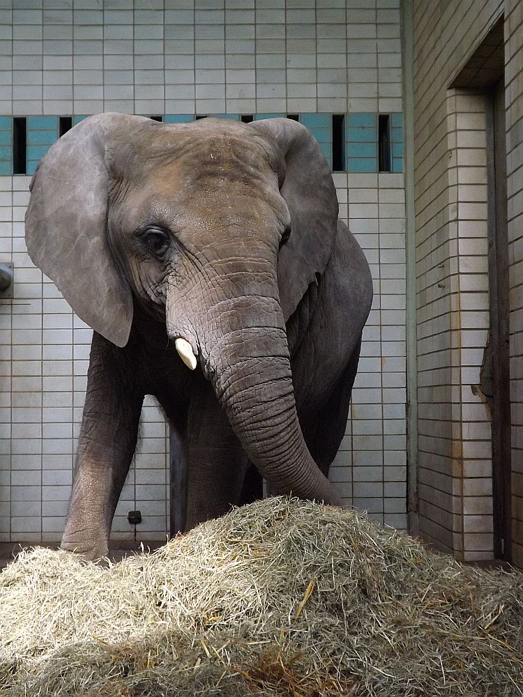 Afrikanischer Elefant (Zoo Magdeburg)