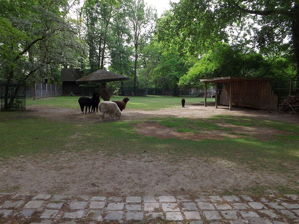 Alpakaweide (Tierpark Dessau)