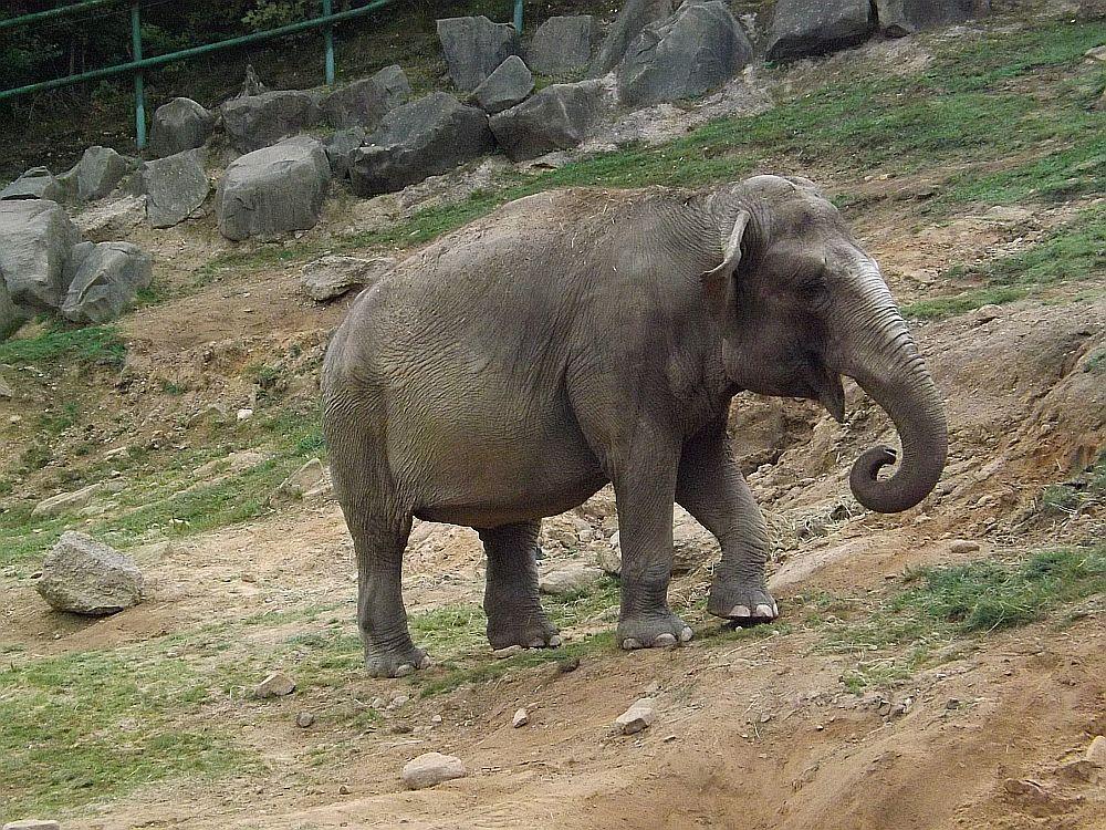 Asiatischer Elefant (Zoo Neunkirchen)
