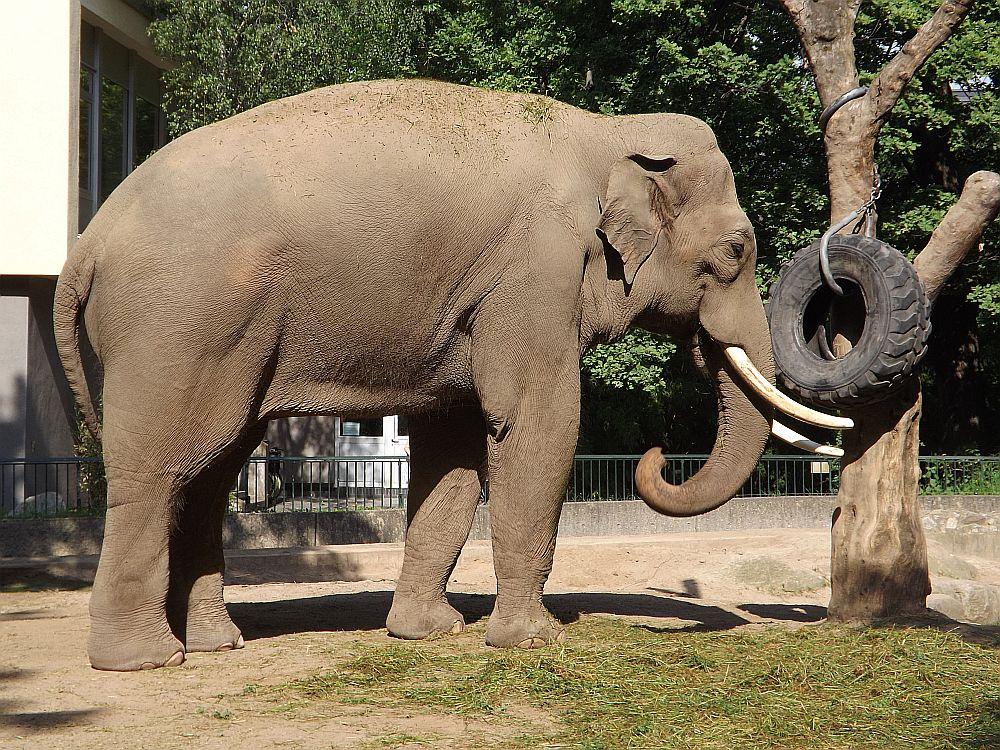 Asiatischer Elefant (Zoo Berlin)