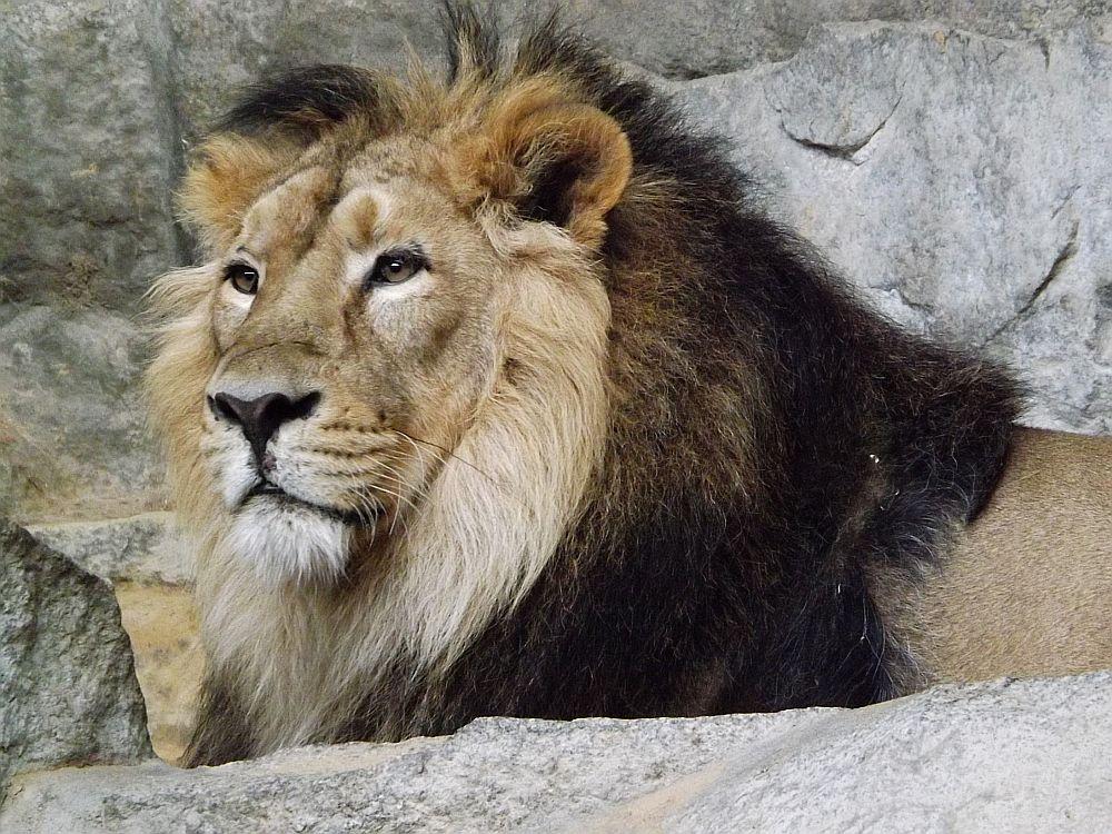Asiatischer Löwe (Tierpark Berlin)