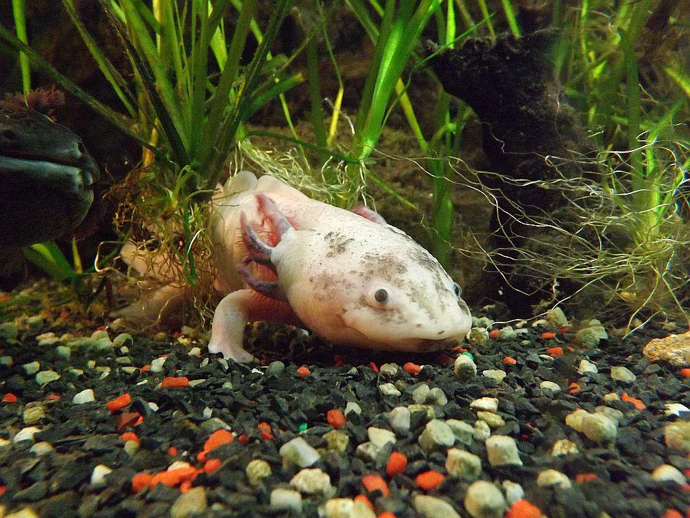 Axolotl (Meeresaquarium Exotarium Nautiland)