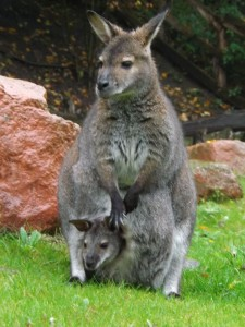 Bennett-Känguru (Erlebniszoo Hannover)